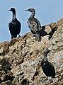 Cape Cormorants Phalacrocorax capensis, Kleinbaai, Western Cape (32506968510).jpg