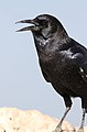Cape crow, Corvus capensis, at Kgalagadi Transfrontier Park, Northern Cape, South Africa (35947034311).jpg