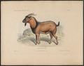 Capra dorcas - 1700-1880 - Print - Iconographia Zoologica - Special Collections University of Amsterdam - UBA01 IZ21300201.tif