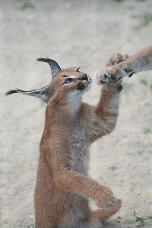 English: Caracal kitten Français : Jeune Carac...