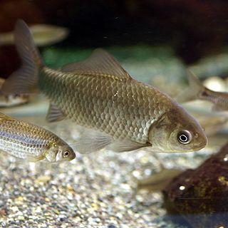 Ginbuna species of fish