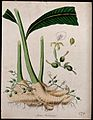 Cardamom plant (Elettaria cardamomum); rootstock sprouting l Wellcome V0043959.jpg