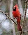 Cardinalis cardinalis -Columbus, Ohio, USA-male-8.jpg