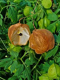 C. halicacabum, ballongranka (frukter)