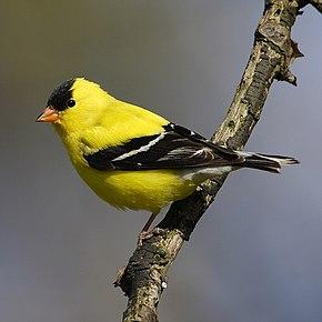 Chardonneret jaune wikip dia for Oiseau jaune et noir