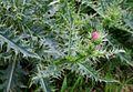 Carduus carlinaefolius ENBLA06.jpg
