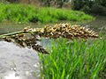 Carex paniculata inflorescens (07).jpg