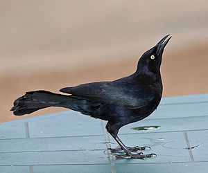 Carib grackle - Male