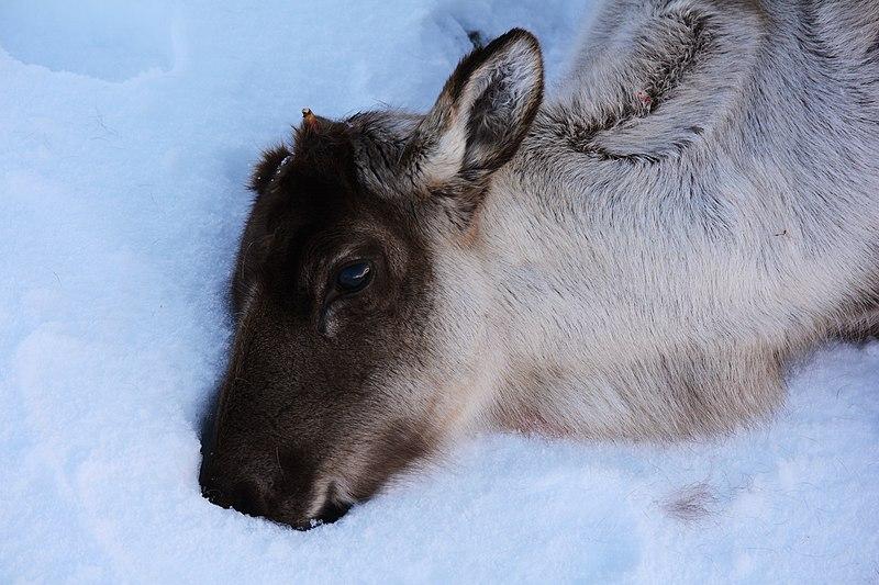 File:Caribou. Adak Island, Alaska (16666980885).jpg