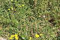Carmel Flora - Hai-Bar Nature Reserve IMG 0783.JPG