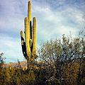 Carnegiea gigantea near Tucson 2.jpg