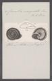 Carocolla marginata - - Print - Iconographia Zoologica - Special Collections University of Amsterdam - UBAINV0274 089 02 0007.tif