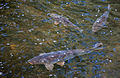 Carp in The Vyne Lake (8096908362).jpg