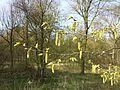 Carpinus betulus sl15.jpg