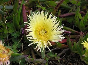 Carpobrotus edulis, al West Coast National Park, Sud-àfrica
