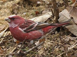 Pallass rosefinch species of bird