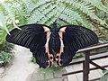 Casa delle Farfalle - Papilio rumanzovia 02.jpg