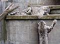 Cat Survival Trust-Fighting Panthera uncia.jpg