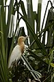 Cattle egret (Bubulcus ibis) from Ranganathittu Bird Sanctuary JEG4318.JPG