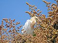 Cattle egret on a mango tree 3.jpg