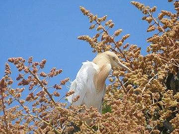 Cattle egret on a mango tree 3.jpg