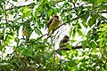 Cedar waxwings, near the North Entrance (136a3b0a-2c1d-49d9-822e-c40c52c36f03).jpg