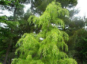 English: Deodar Cedar (Cedrus deodara), Italy....