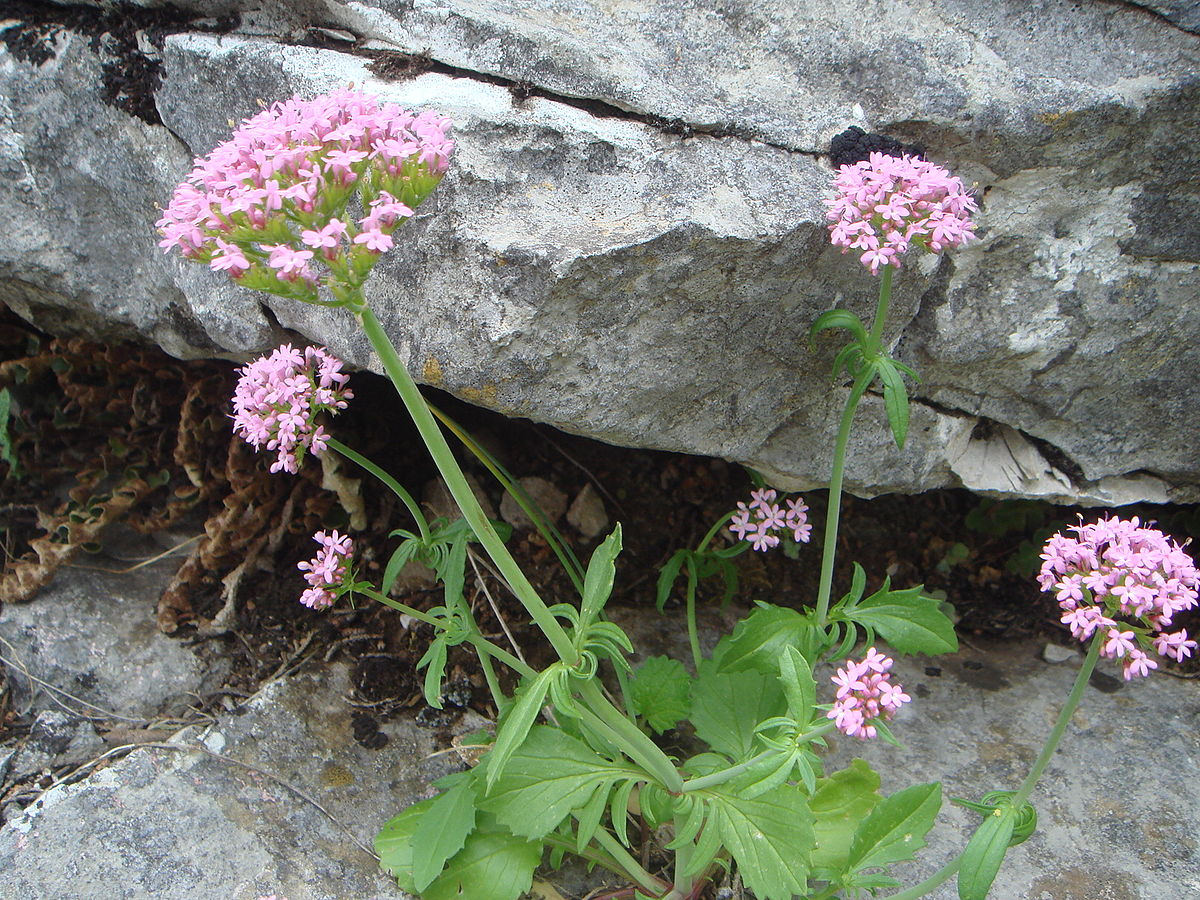 Centranthus calcitrapae - Wikispecies