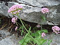 Centranthus calcitrapa.JPG