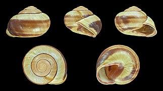 Cepaea nemoralis - Shell 15.JPG