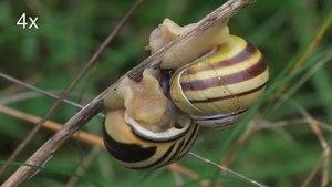 File:Cepaea nemoralis mating.ogv