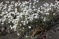 Cerastium tomentosum 'Silberteppich' 02.jpg