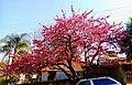 Cerejeira pg.jpg