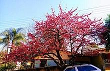 Prunus Serrulata Wikipedia