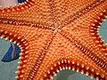 Cervena morska hviezdica.jpg