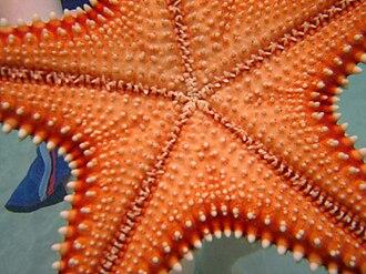 Oreaster reticulatus - Image: Cervena morska hviezdica