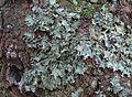 Cetrelia olivetorum T82 (2).JPG