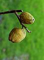 Chaenomeles x superba 'nicolina' (chinese kwee). Locatie. Tuinreservaat Jonkervallei 01.JPG