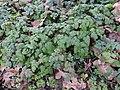 Chaerophyllum temulum RF.jpg