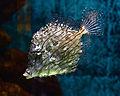 Chaetodermis penicilligerus Aquarium Liège 30012016 1.jpg