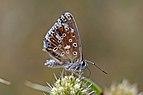 Chalk hill blue (Polyommatus coridon) female underside Hungary.jpg