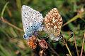 Chalkhill blue butterflies (Polyommatus coridon) mating 1 downscaled.jpg