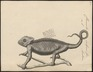 Chamaeleo vulgaris - 1700-1880 - Print - Iconographia Zoologica - Special Collections University of Amsterdam - UBA01 IZ12300037.tif