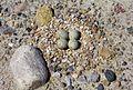 Charadrius melodus nest.jpg