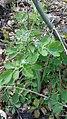 Cheledonium majus, Papaveraceae 02.jpg