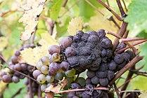 Chenin blanc with Botrytis.jpg