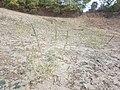 Chenopodium urbicum sl38.jpg