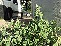 Chenopodium vulvaria sl12.jpg
