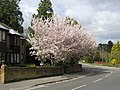 Cherry Blossom at Charing Cross, Alderholt - geograph.org.uk - 784981.jpg