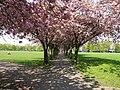 Cherry Trees, Coronation Walk - geograph.org.uk - 167692.jpg
